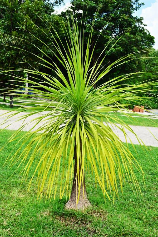 Δέντρο loureiri Dracaena στοκ φωτογραφίες με δικαίωμα ελεύθερης χρήσης