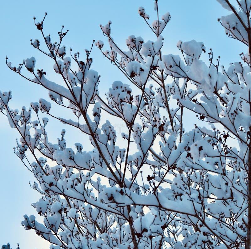 Δέντρο Magnolia στοκ φωτογραφία