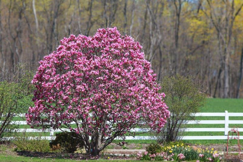 Δέντρο Magnolia στοκ εικόνες