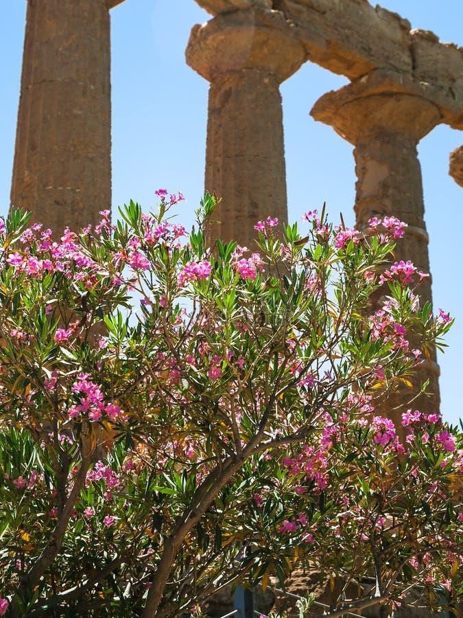 Δέντρο Oleander κοντά στο ναό της Juno στο Agrigento στοκ φωτογραφία