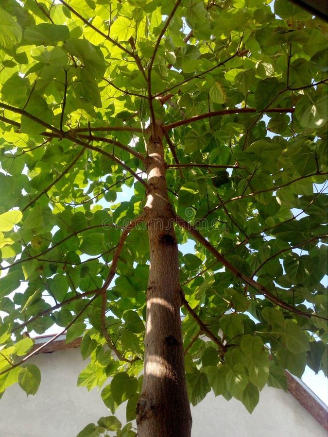 Δέντρο Paulownia στοκ εικόνες