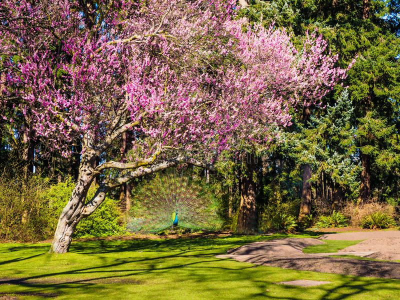 Δέντρο Peacock και κερασιών στοκ φωτογραφία με δικαίωμα ελεύθερης χρήσης