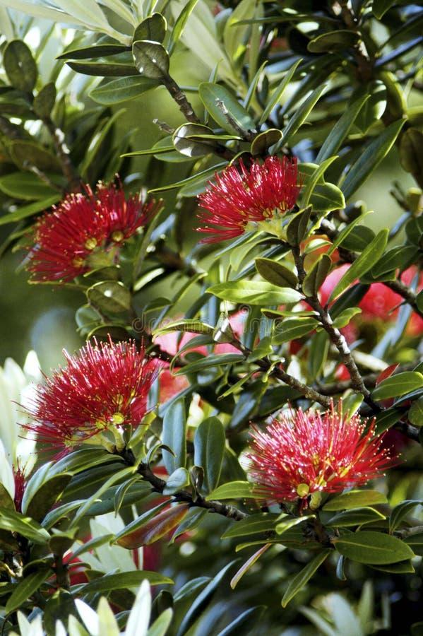 Δέντρο Pohutuakawa, Νέα Ζηλανδία στοκ φωτογραφία με δικαίωμα ελεύθερης χρήσης