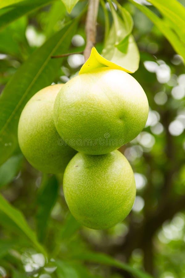 Δέντρο Pong Pong με τα φρούτα στοκ εικόνα