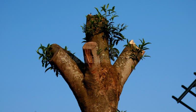 Δέντρο Rudraksha στοκ εικόνες