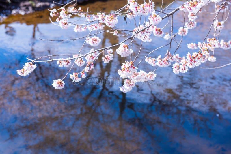 Δέντρο Sakura στην Ιαπωνία Ανθίζοντας λουλούδι ανθών κερασιών στοκ φωτογραφίες