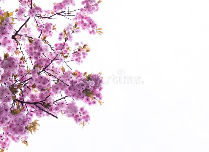 Δέντρο Sakura στην Ιαπωνία Ανθίζοντας λουλούδι ανθών κερασιών στοκ εικόνες με δικαίωμα ελεύθερης χρήσης