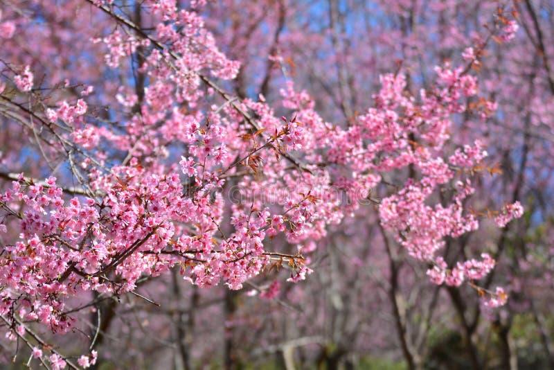 Δέντρο Sakura στοκ φωτογραφίες