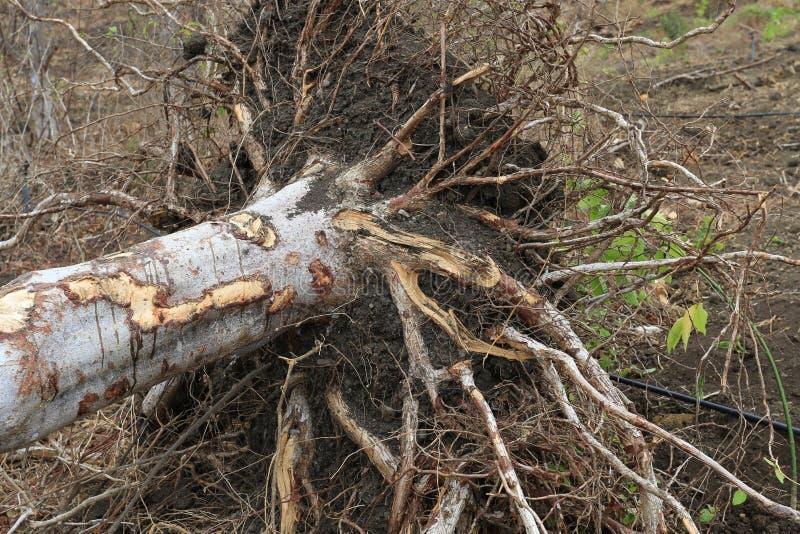 Δέντρο Santo Palo έτοιμο για τη συγκομιδή στοκ φωτογραφίες με δικαίωμα ελεύθερης χρήσης
