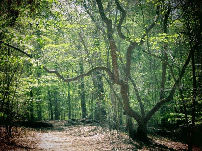 Δέντρο Sourwood στοκ φωτογραφίες με δικαίωμα ελεύθερης χρήσης