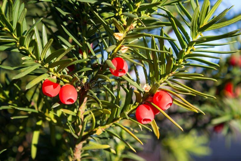 Δέντρο Yew με τα κόκκινα φρούτα στοκ φωτογραφία με δικαίωμα ελεύθερης χρήσης