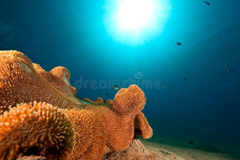 δέρμα κοραλλιών τραχύ στοκ εικόνες