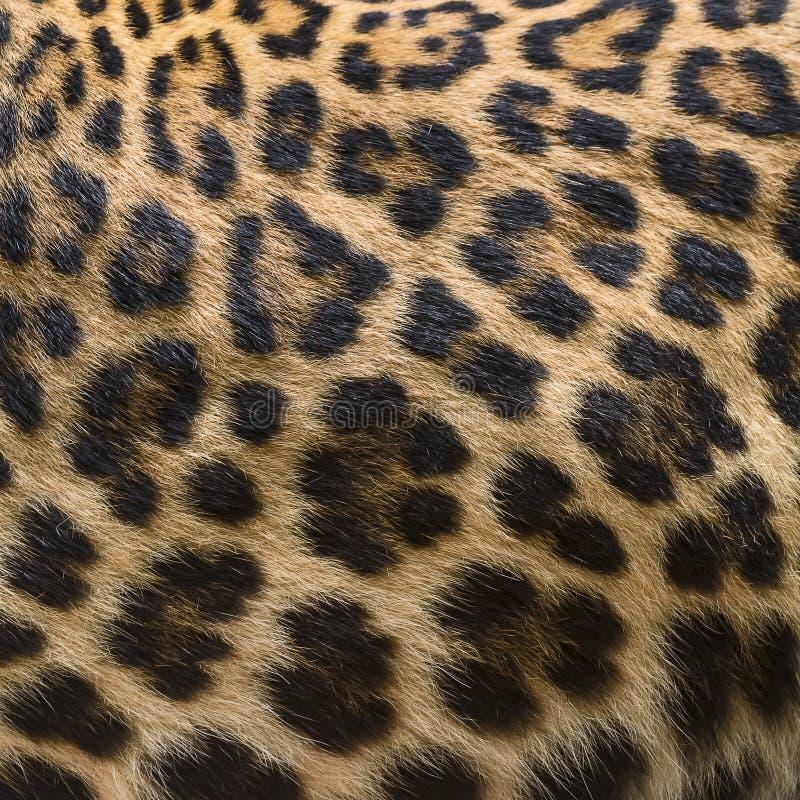 Δέρμα λεπτομέρειας της λεοπάρδαλης στοκ εικόνα με δικαίωμα ελεύθερης χρήσης