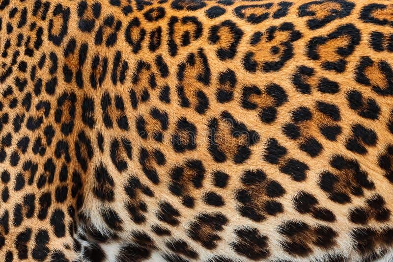 Δέρμα λεπτομέρειας της λεοπάρδαλης στοκ φωτογραφία με δικαίωμα ελεύθερης χρήσης