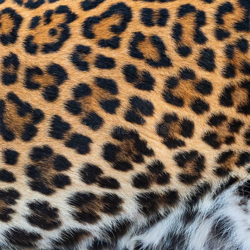 Δέρμα λεπτομέρειας της λεοπάρδαλης στοκ φωτογραφία