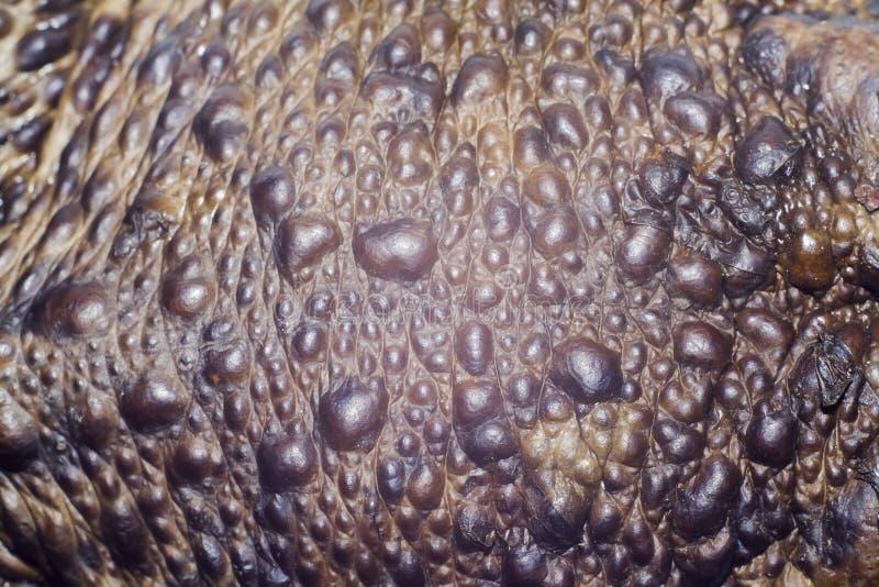 Δέρμα του φρύνου στοκ φωτογραφία με δικαίωμα ελεύθερης χρήσης