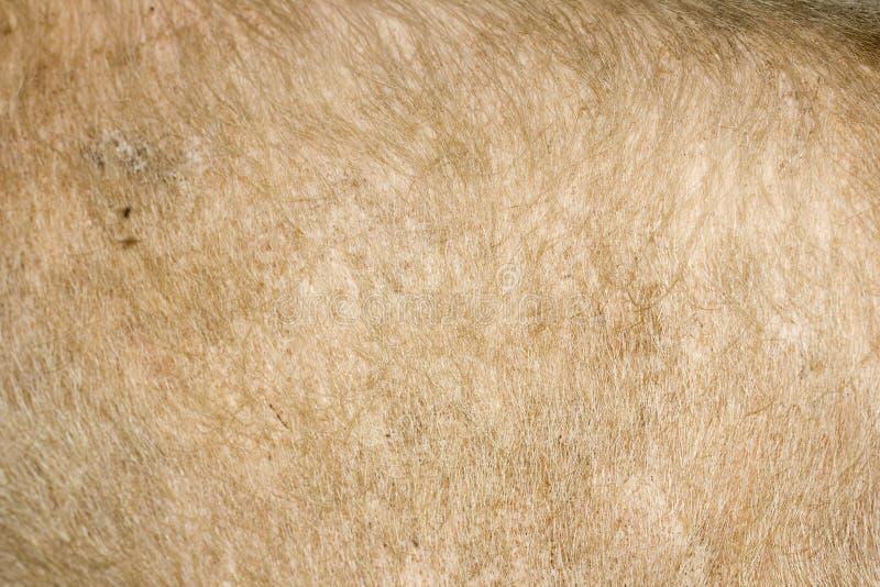 Δέρμα χοίρων ως υπόβαθρο στοκ εικόνα