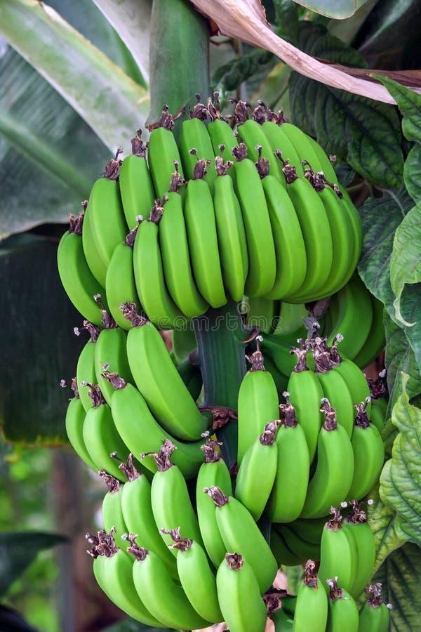 Δέσμες των πράσινων μπανανών σε έναν κλάδο του φοίνικα μπανανών, unripe ήδη μεγάλα φρούτα στοκ εικόνα με δικαίωμα ελεύθερης χρήσης