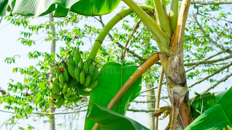Δέσμες των πράσινων μπανανών σε ένα δέντρο μπανανών 1 ανασκόπηση καλύπτει το νεφελώδη ουρανό στοκ φωτογραφία