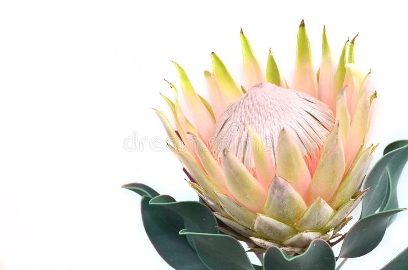 Δέσμη λουλουδιών Protea Ανθίζοντας κίτρινες εγκαταστάσεις Protea βασιλιάδων πέρα από το άσπρο υπόβαθρο Ακραία κινηματογράφηση σε  στοκ φωτογραφίες με δικαίωμα ελεύθερης χρήσης