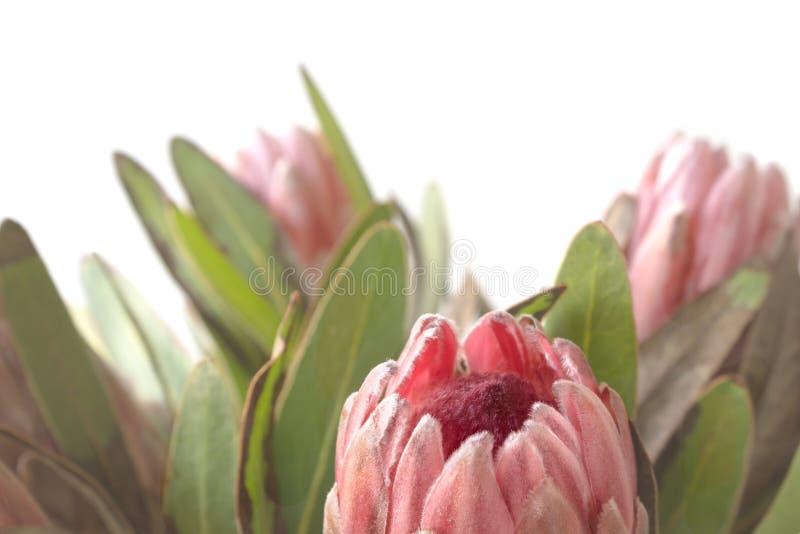 Δέσμη λουλουδιών Protea στο άσπρο υπόβαθρο στοκ φωτογραφίες