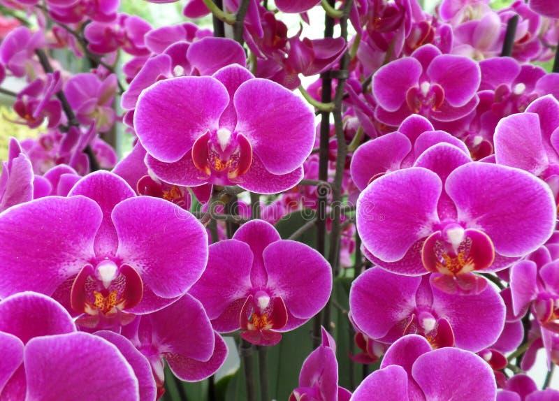 Δέσμη να συγκλονίσει τα ρόδινα λουλούδια ορχιδεών χρώματος ανθίζοντας στοκ φωτογραφίες με δικαίωμα ελεύθερης χρήσης