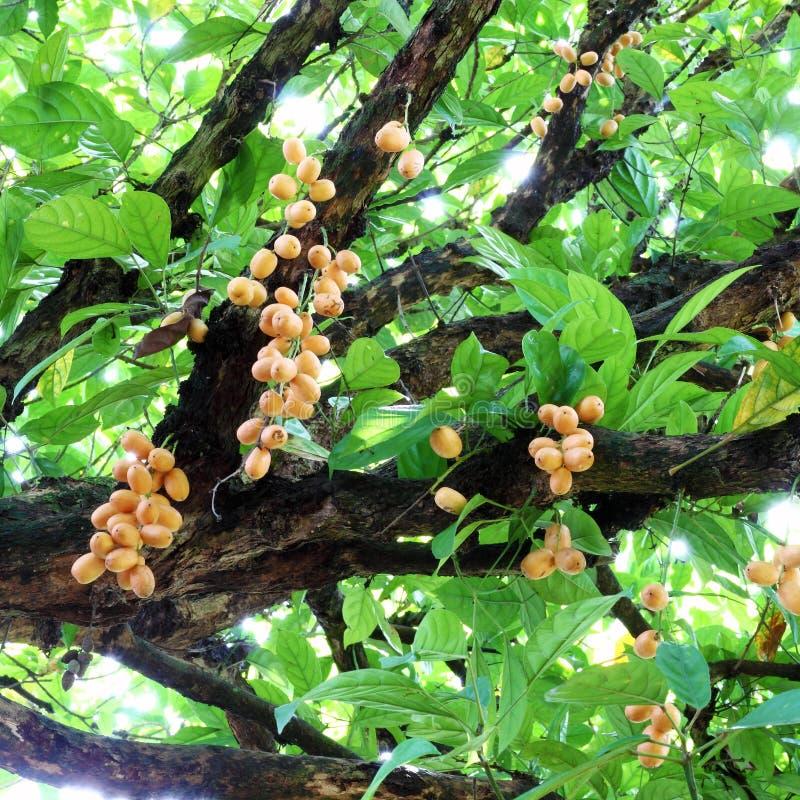 Δέσμη του βιρμανός σταφυλιού (ramiflora Baccaurea) στοκ φωτογραφία με δικαίωμα ελεύθερης χρήσης
