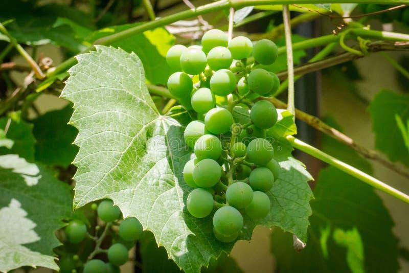 Δέσμη του πράσινου ανώριμου κρασιού σταφυλιών στοκ εικόνα με δικαίωμα ελεύθερης χρήσης