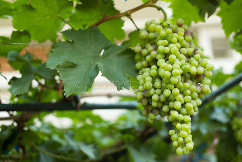 δέσμη του ώριμου άσπρου σταφυλιού στον αμπελώνα φρούτα για τη συγκομιδή στο αγρόκτημα στοκ εικόνες