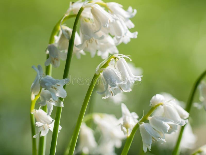Δέσμη των άσπρων λουλουδιών Bluebell bluebells στοκ φωτογραφίες