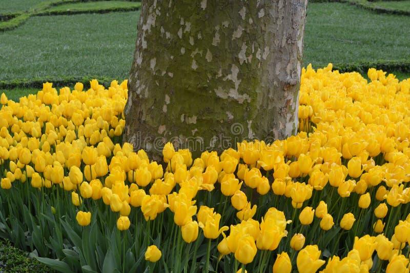 Δέσμη των κίτρινων τουλιπών στοκ φωτογραφία με δικαίωμα ελεύθερης χρήσης