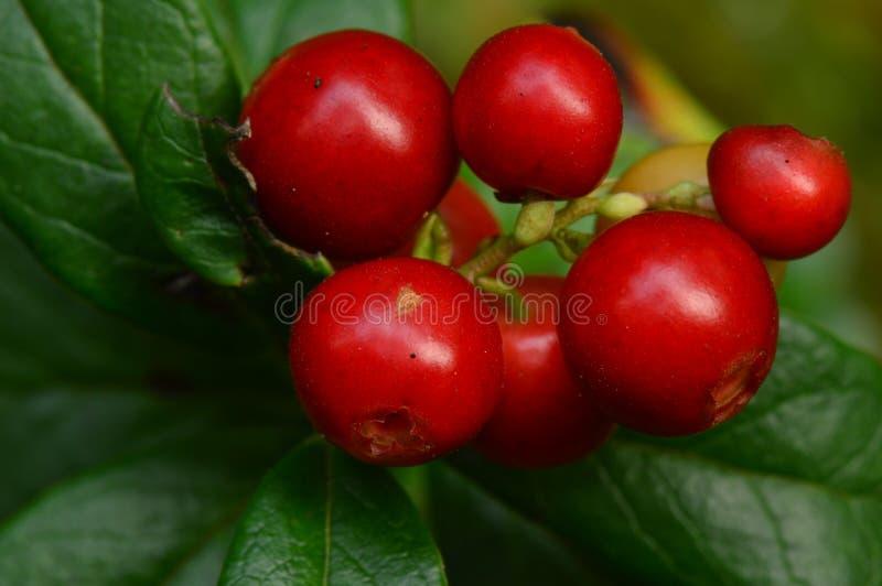 Δέσμη των κόκκινων ώριμων των βακκίνιων μούρων στα πράσινα cowberry φύλλα στον ήλιο πρωινού στοκ εικόνες με δικαίωμα ελεύθερης χρήσης