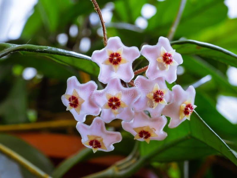 Δέσμη των μικρών διαμορφωμένων αστέρι λουλουδιών Hoya Carnosa στοκ εικόνες