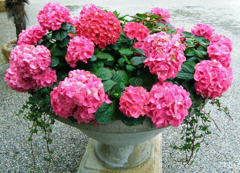Δέσμη των δονούμενων ρόδινων ανθίζοντας λουλουδιών Hydrangea σε έναν εκλεκτής ποιότητας καλλιεργητή ύφους στοκ εικόνα με δικαίωμα ελεύθερης χρήσης