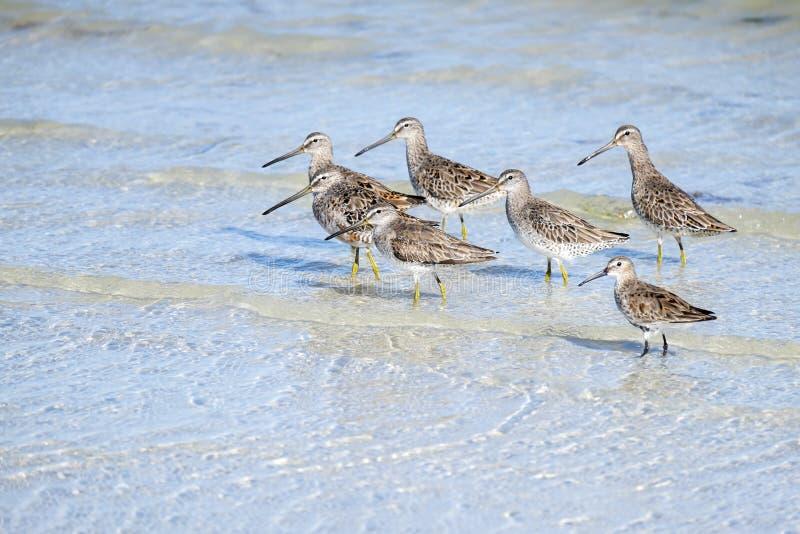 Δέσμη των πουλιών Yellowlegs σε μια παραλία στοκ εικόνες