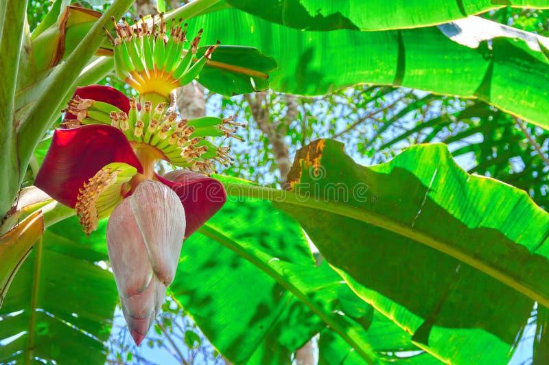 Δέσμη των φρούτων μπανανών σε έναν φοίνικα Τα εξωτικά φρούτα αυξάνονται σε ένα δέντρο Έννοια των τροπικών φυτειών Κατώτατη όψη στοκ εικόνες