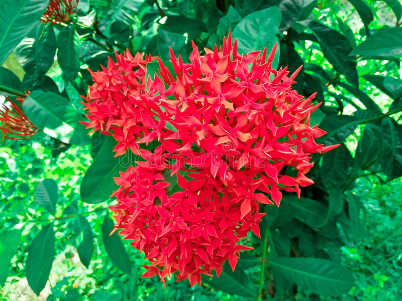 Δέσμη των όμορφων κόκκινων λουλουδιών Ixora στοκ εικόνες