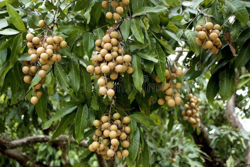 Δέσμη φρέσκου longan στα ταϊλανδικά τροπικά φρούτα δέντρων στοκ εικόνες με δικαίωμα ελεύθερης χρήσης