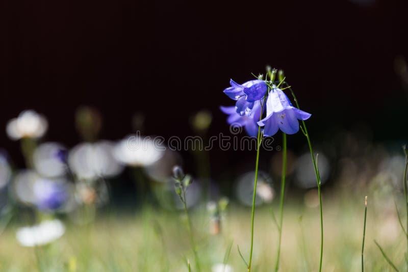 Δέσμη Bluebells από ένα σκοτεινό υπόβαθρο στοκ φωτογραφία με δικαίωμα ελεύθερης χρήσης