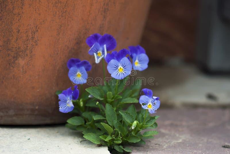 Δέσμη Violas στοκ εικόνα με δικαίωμα ελεύθερης χρήσης