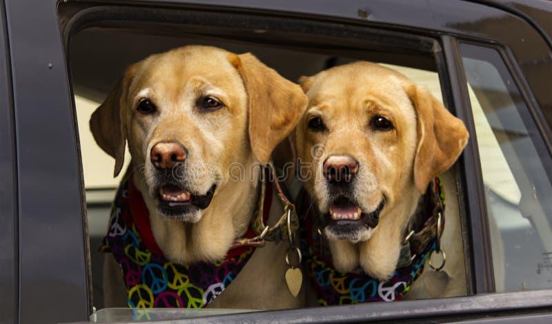 Δίδυμοι χίπηδες σκυλιών στο αυτοκίνητο, Ibiza στοκ εικόνες