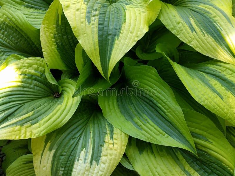 Δίχρωμα φύλλα στοκ φωτογραφίες