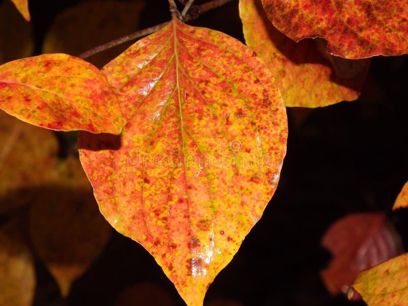 Δίχρωμο πορτοκαλί και κόκκινο φύλλο στοκ φωτογραφίες με δικαίωμα ελεύθερης χρήσης