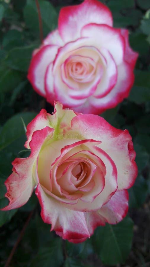 Δίδυμα τριαντάφυλλα στοκ φωτογραφίες με δικαίωμα ελεύθερης χρήσης