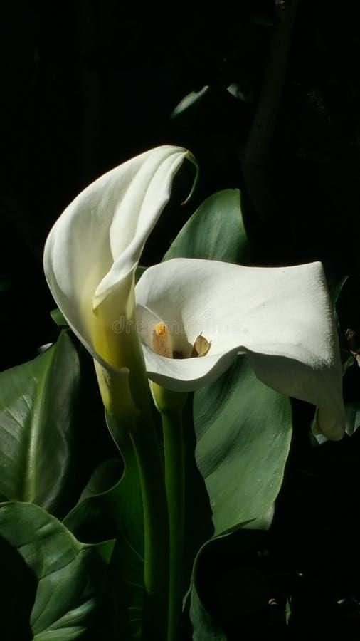 Δίδυμο Calle Lillies στοκ εικόνα