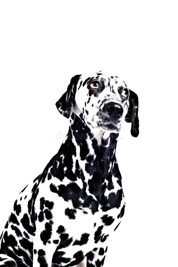 δαλματικό λευκό σκυλιών στοκ φωτογραφία