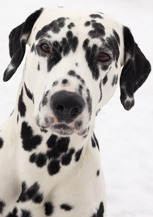 δαλματικό σκυλί στοκ εικόνα με δικαίωμα ελεύθερης χρήσης
