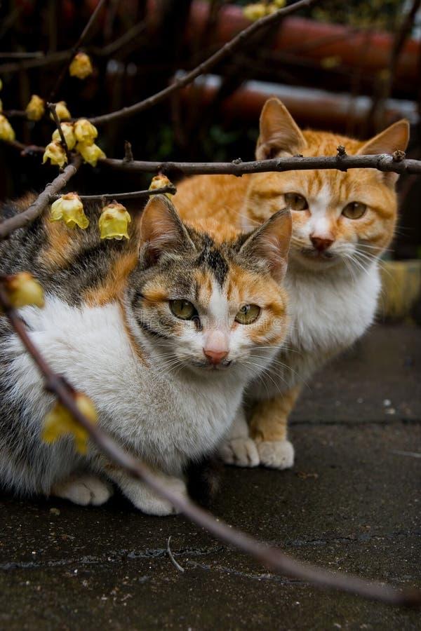 δαμάσκηνο γατών ανθών στοκ φωτογραφία με δικαίωμα ελεύθερης χρήσης