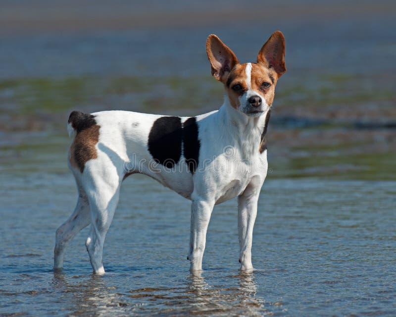 Δανικό σουηδικό αγροτικό σκυλί στοκ εικόνες