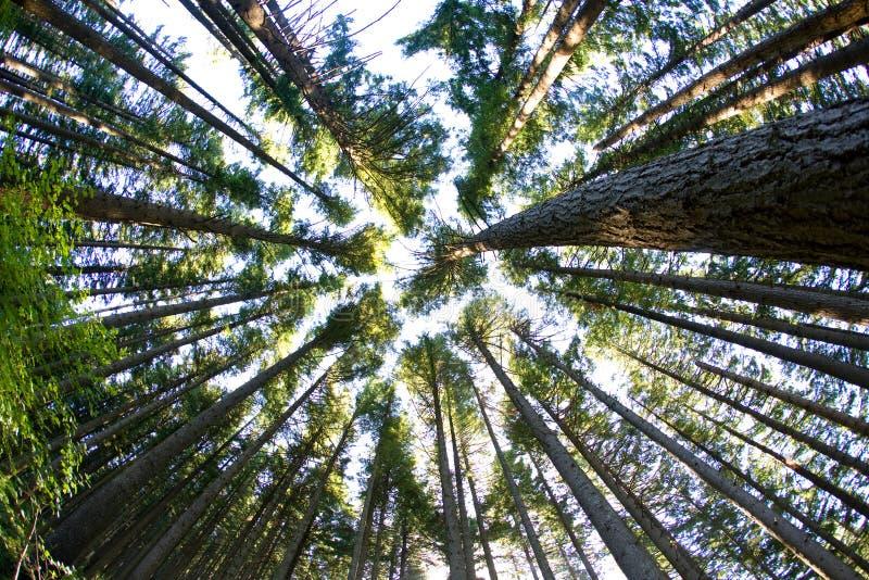 δασικά δέντρα πεύκων στοκ εικόνες
